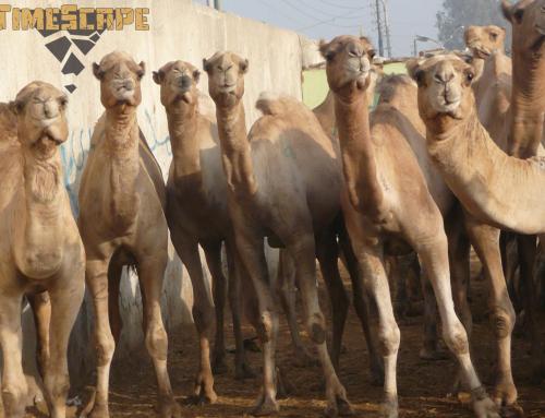 Ограбиха камиларя…